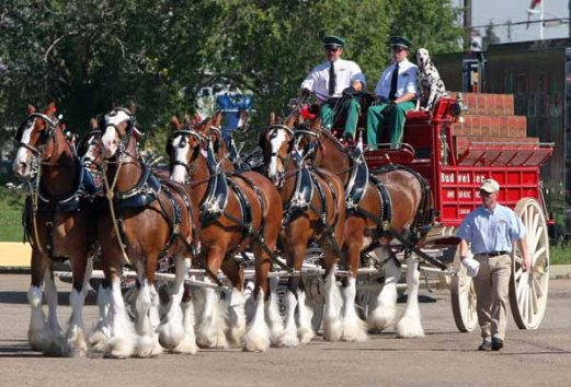 EDMONTON ALBERTA, JULY 21, 2010: The Budweiser Clydesdales move into place before their event at the Labatts Brewery in Edmonton Ab on Wednesday July 21, 2010. (Photo by John Lucas/Edmonton Journal)